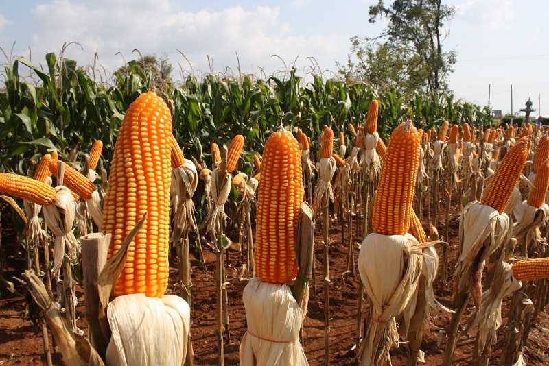China: Tropical corn hybrids in demand as a result of climate change