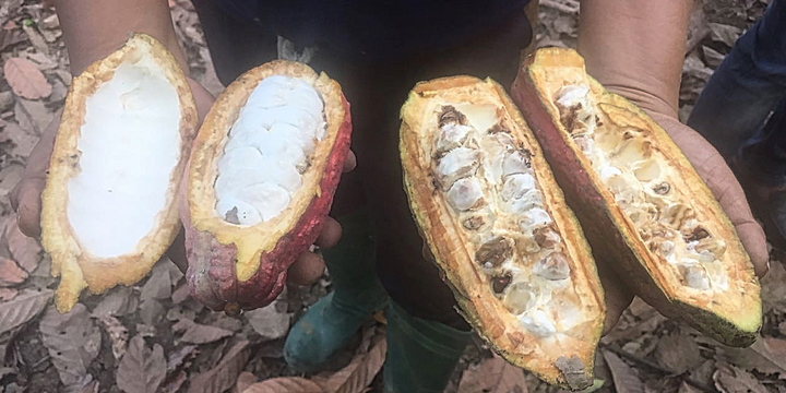 Cargill Boosts Cocoa Productivity and Quality Using Crop Enhancement's Sustainable Crop Production Technology