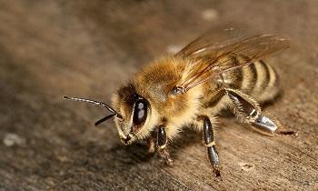 新烟碱类杀虫剂或致蜜蜂极易受到致命螨虫侵害