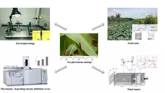 防治小菜蛾的性信息素类似物被筛选出