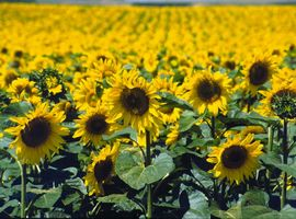 Syngenta, BASF sign sunflower technology licensing agreements