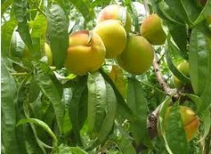 Scientists sequence peach genome