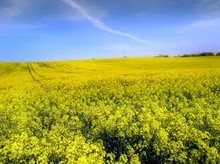 EU pesticide ban to save bees may curb rapeseed production