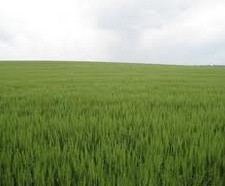Canadian farmers plant large areas of most key crops