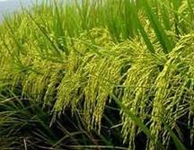 Arcadia Biosciences completes field trials for NUE rice