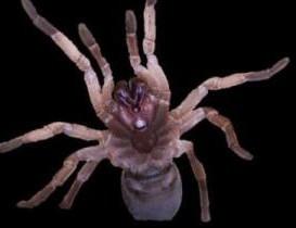 Australian Tarantula Venom Contains Novel Insecticide Against Agricultural Pests