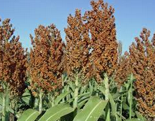 Ceres and Syngenta extend market development in Brazil