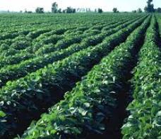 Canadian soybean areas to reach record high in 2014