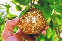 柑橘疮痂病的病因及防治方法
