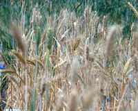 Chinese researchers develop powdery mildew resistant wheat