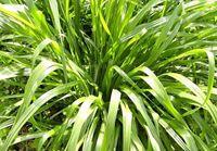 小麦田抗性杂草分述(六)多花黑麦草