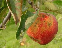 Potential biofungicide against apple scab tested successfully in Europe