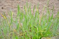 小麦田抗性杂草分述(七)日本看麦娘