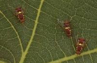 Russell IPM develops solution against fruit flies