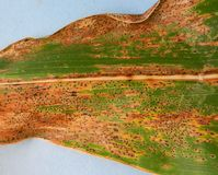 New corn disease confirmed in Indiana, US