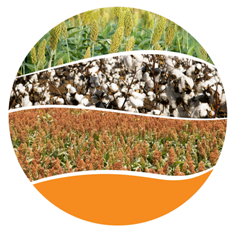 Australia summer crop area to increase by 5% in 2015–16