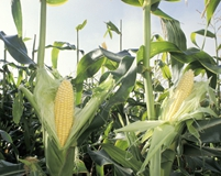 Italian maize acreage declined to the lowest point since 1994