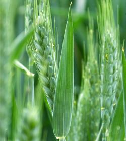 小麦用盈彩® — 叶绿,穗大,产量高!