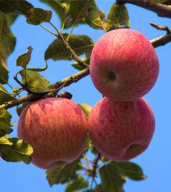 苹果用盈彩® — 防病,保健,表光好!