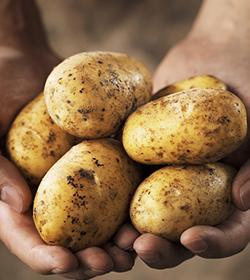 马铃薯用出萃®,产量高,薯品好!