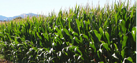GE corn, cotton with herbicide, insecticide tolerance now the norm