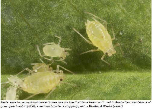 Australia - Green peach aphid confirmed resistant to neonicotinoid insecticides