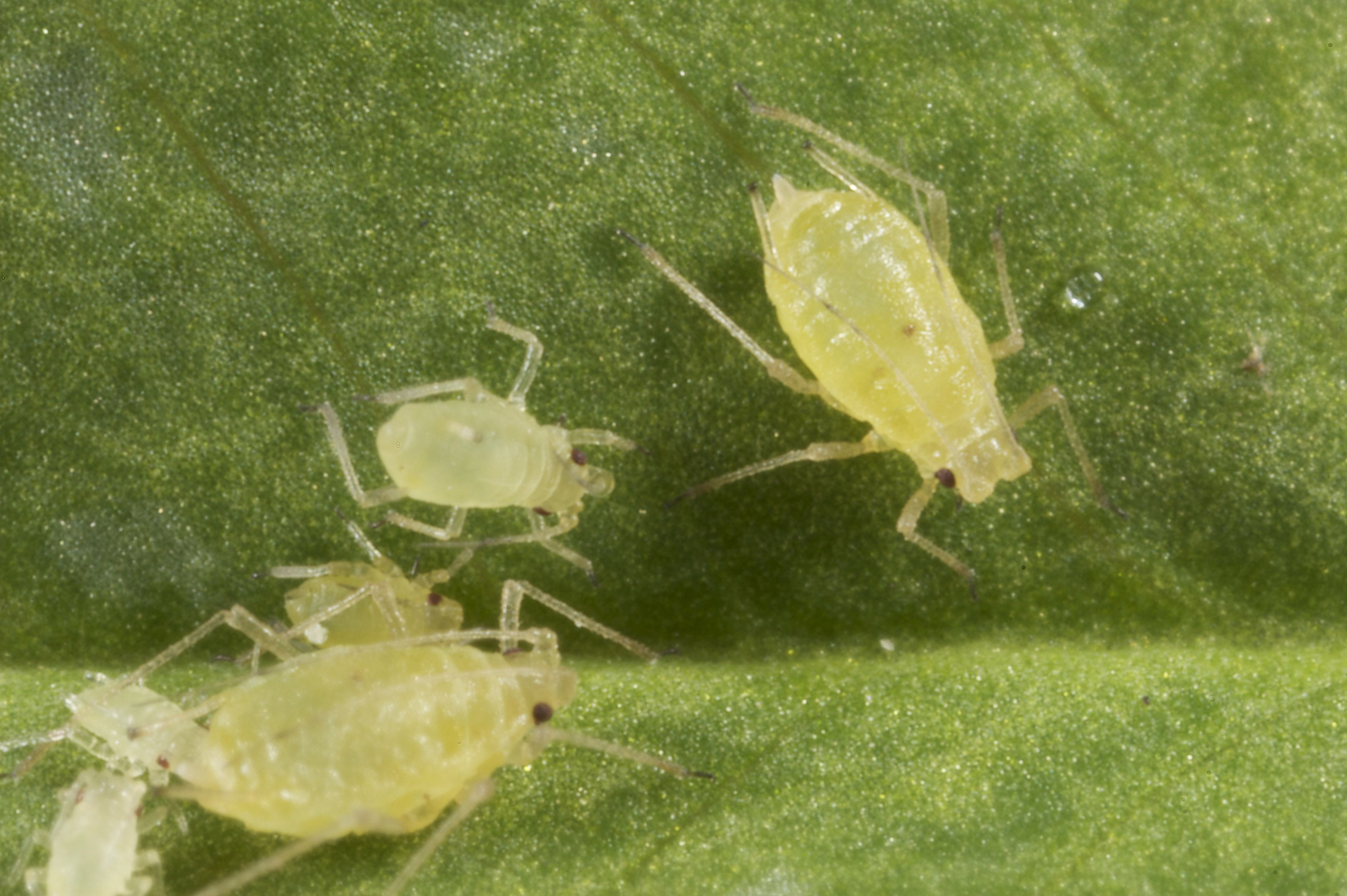 Australia: Green peach aphid confirmed resistant to neonicotinoid insecticides