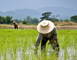 Charting the Thailand Rice Market
