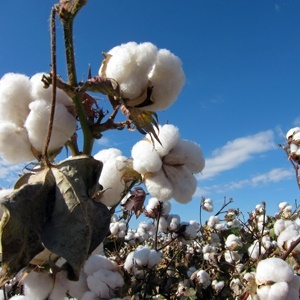 Monsanto rolling out next generation genetically modified cotton product