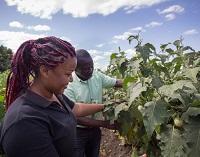 Rijk Zwaan develops African aubergines
