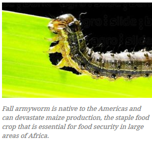 Crop destroying caterpillar rapidly spreading across Africa; maize production endangered