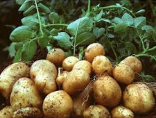 Canada: New products available for potato growers in 2017