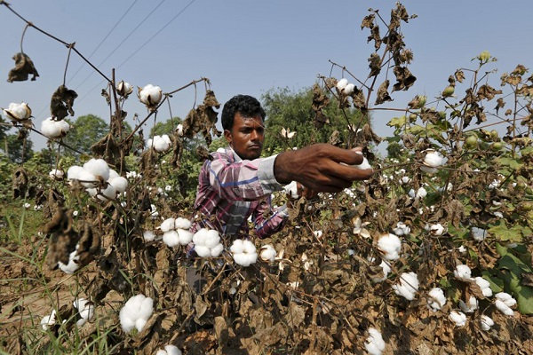 Pink bollworm: India seed companies want to revert to Monsanto's old tech