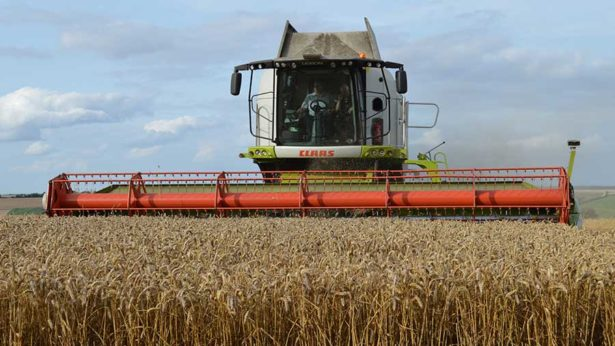 UK: Top-yielding wheat variety set to see leap in market share