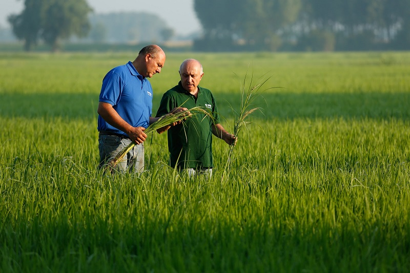International Rice Research Institute and BASF develops herbicide-tolerant rice