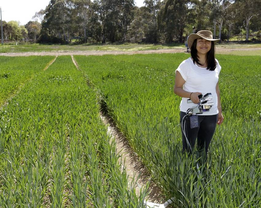 Wheat breeding genetic research and development for high yield varieties