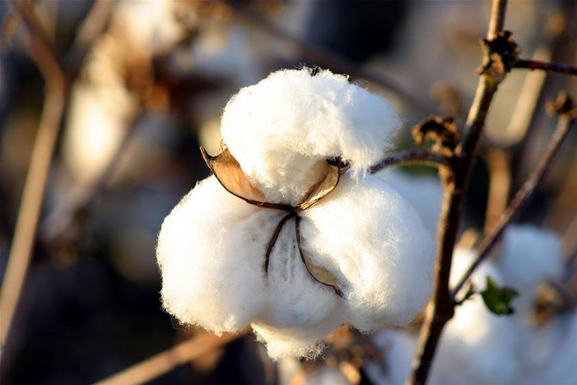 Australia approves Syngenta's GM cotton for the commercial release