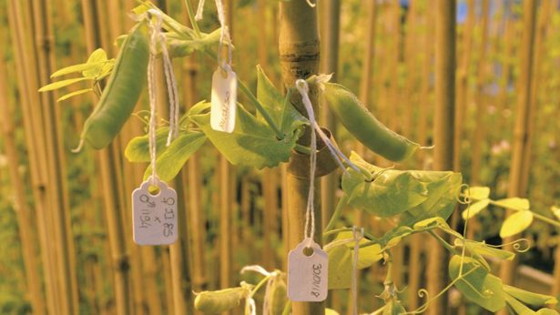Gene injection set to bring big benefits to pea crops