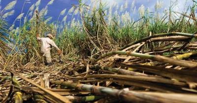 Brazil sugar mills start genetically-modified cane plantation