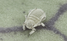 Research suggests plants and predators might work together to control aphids