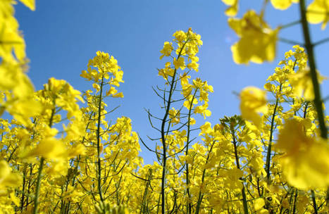 USDA to deregulate GE canola for altered oil profile from BASF Plant Science L.P.