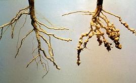Nematodes cause losses of US$ 3000 per hectare in Brazil