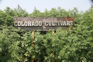 Cannabinoid research frontrunner ebbu joins with hemp giant Colorado Cultivars in major cultivation project