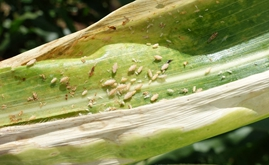 Sales of insecticides for corn leafhopper control jump in Brazil