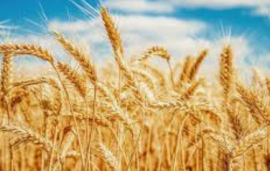 Ban on neonicotinoid wheat imports unlikely, suggests Gove