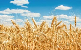 India: Wheat sowing up 58.50 pc so far