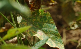 Occurrence of Asian rust on soybeans increases 331% during 2018/2019 harvest in Brazil