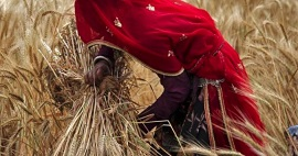 Climate Change Harming Agriculture, India's Wheat Production Could Fall By 23%: Ministry