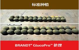 Brandt推出含革新成分植物生长调节剂 可提高特色作物产量10-37%