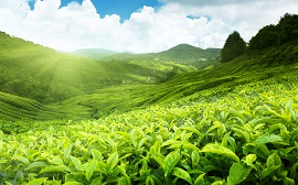 India can export 300 million kg tea by 2020